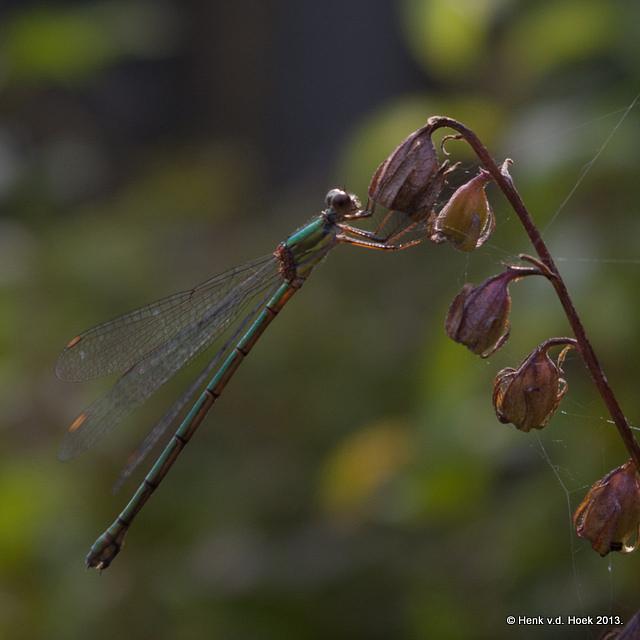 Libelle soort.