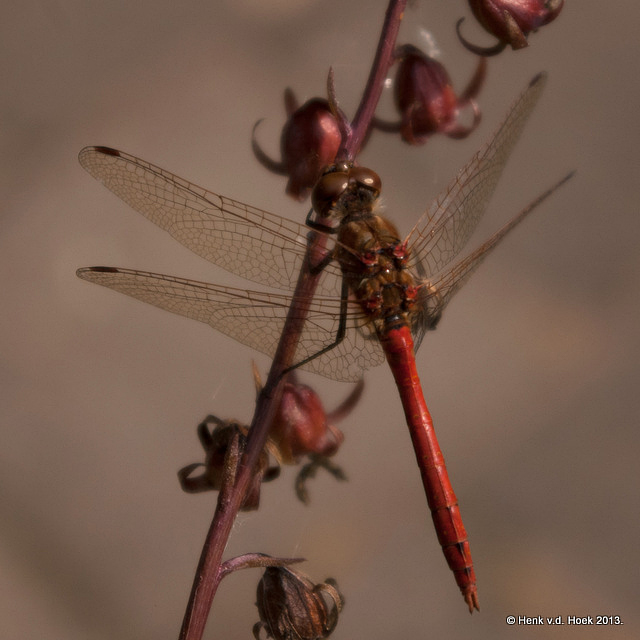 Rode heide libelle