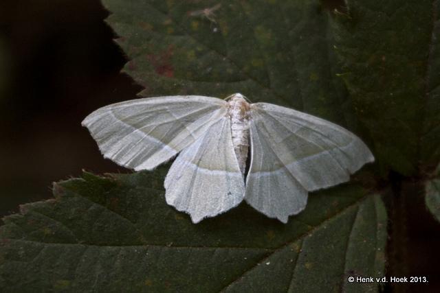 Witte motvlinder.