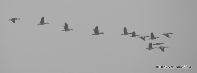 Grauwe Gans in de mist.