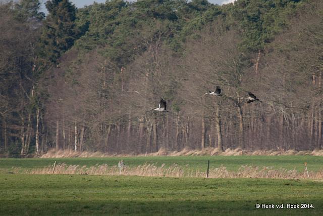 Kraanvogels Drenthe.