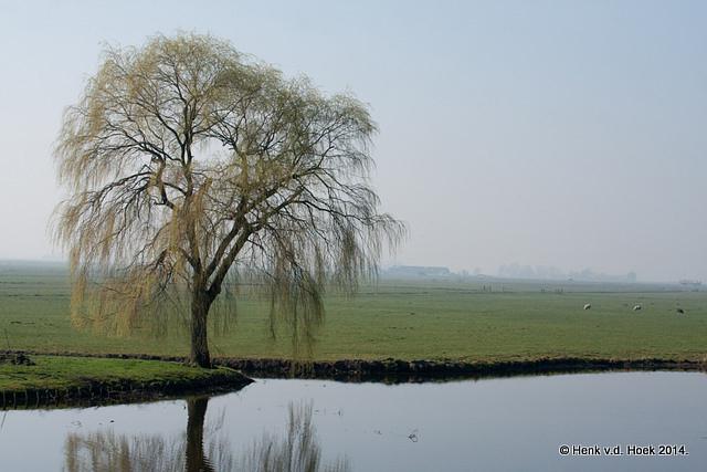 Wilgenboom.