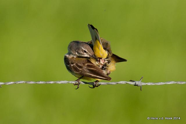 Poetsende gele kwikstaart jonge vogel.