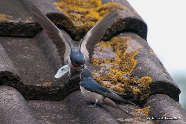 Jonge Boerenzwaluw wordt gevoerd.