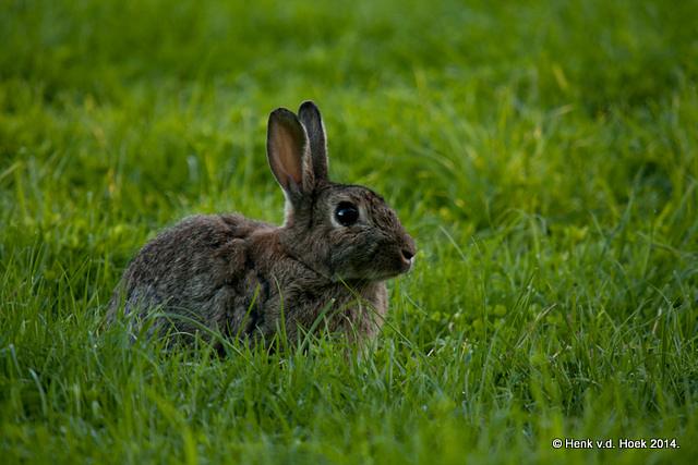 konijn.