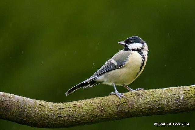 Koolmees - jonge vogel.
