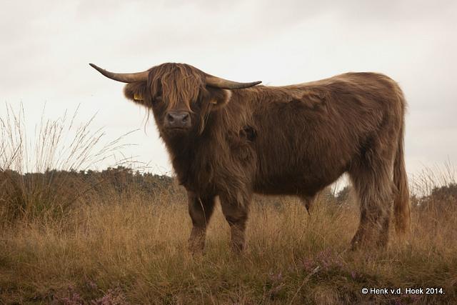 Jonge schotse hooglander stier.