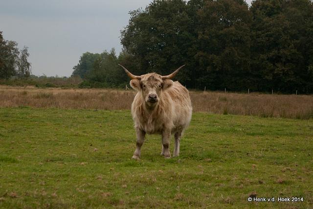 Schotse hooglander koe.