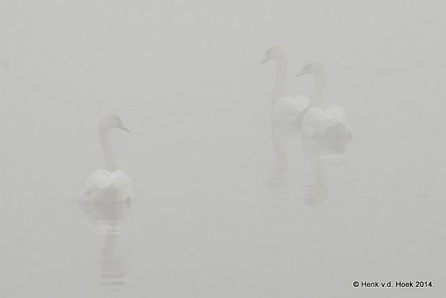 Knobbelzwanen in dichte mist.