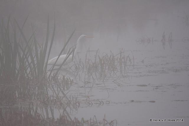 Grote Zilverreiger in dichte mist.