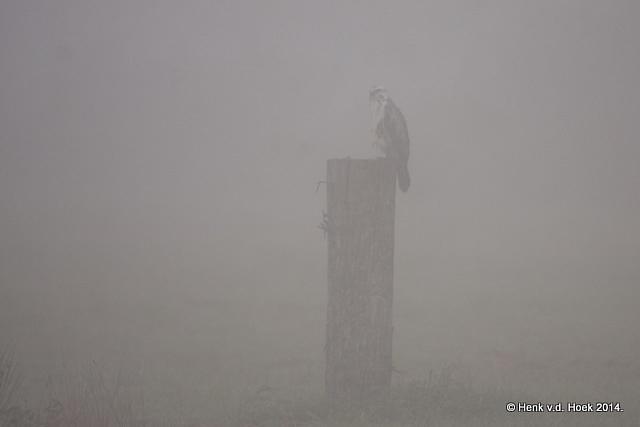 Buizerd in dichte mist.