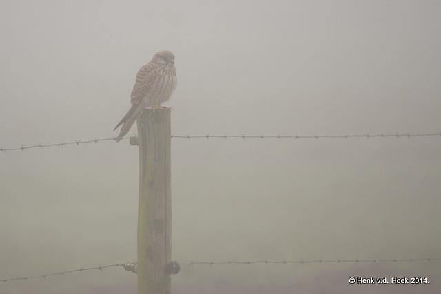 Torenvalk in dichte mist.