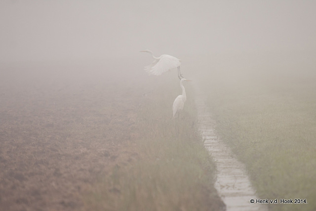 Grote Zilverreigers in dichte mist.