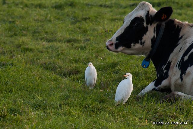 Koereigers met koe.