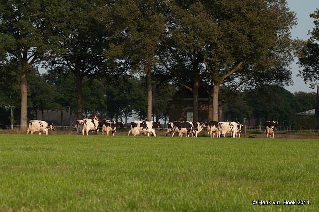 koeien.