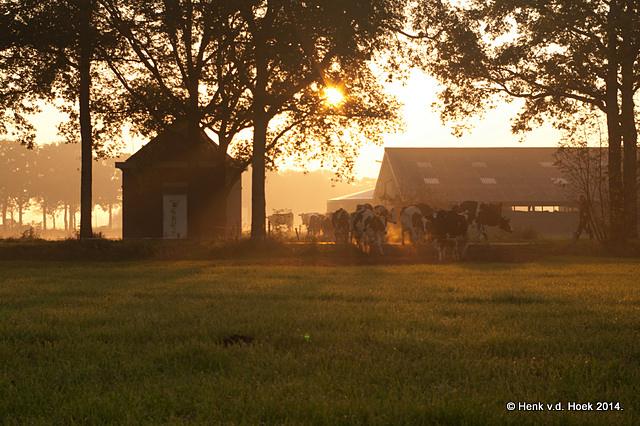 koeien gaan naar hun weidegronden.