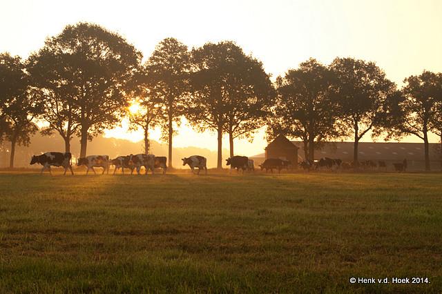 koeien op weg naar hun weidegronden.
