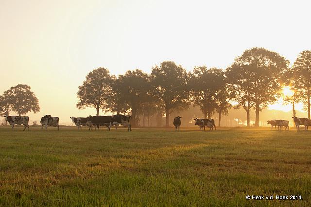 koeien op weg naar de wei.