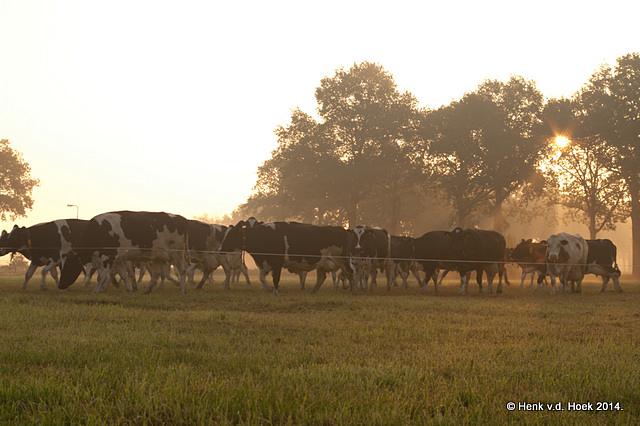koeien naar de wei.