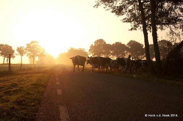 Koeien in tegenlicht naar de wei.