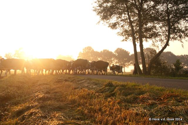 Koeien steken de paardelanden over.