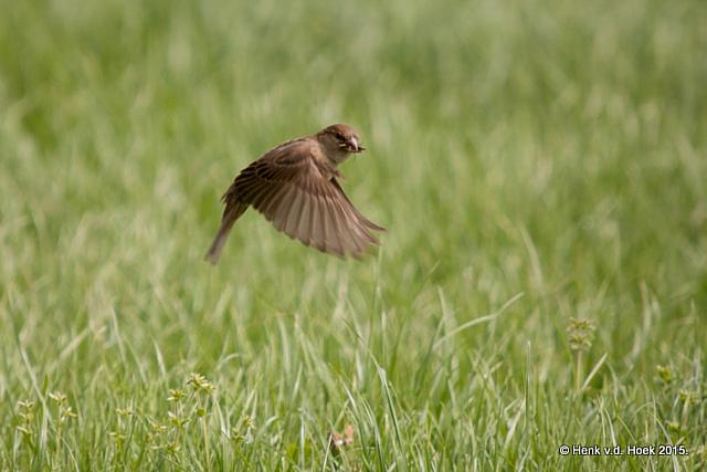 Huismus pakt insekten uit het gras.