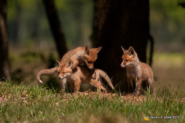 Jonge vossen