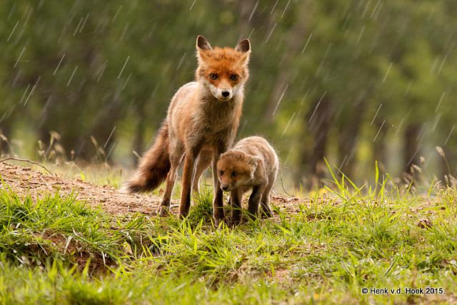 Moervos met welp in een regenbui.