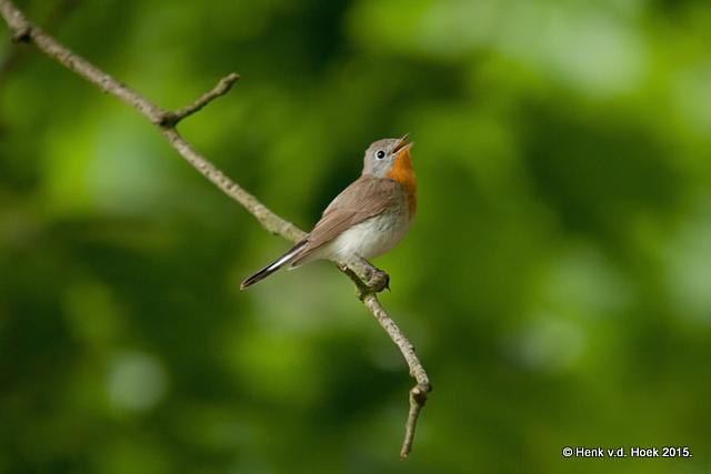 Kleine Vliegenvanger.