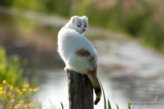 Kat met kleine oren.