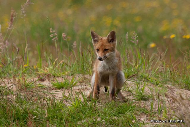 poepende jonge vos.