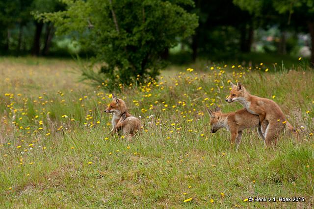 jonge vossen.