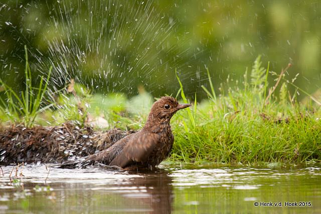 Jonge merel neemt bad.
