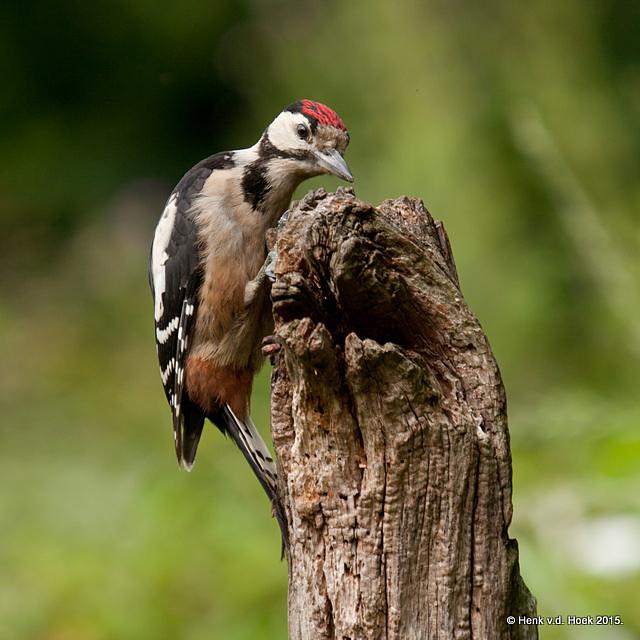 GBS jonge vogel.