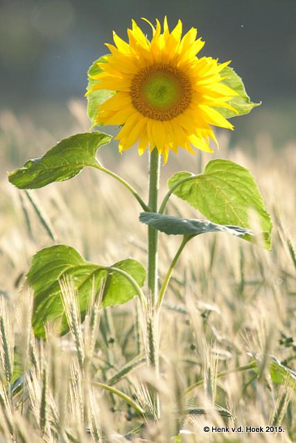 Zonnebloem in graanveld.
