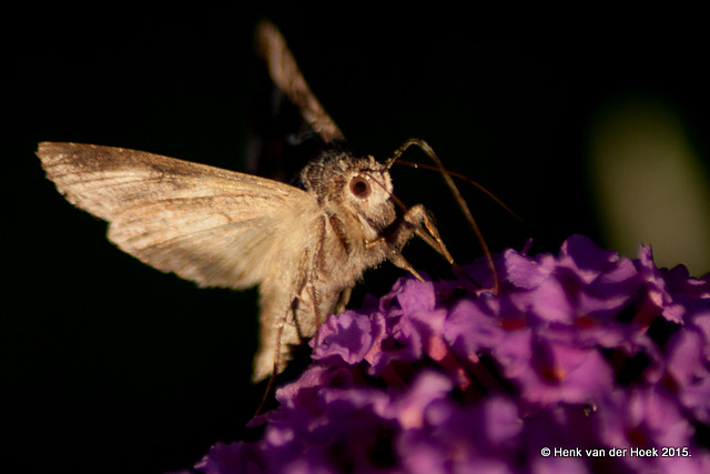 Kolibrie vlinder.