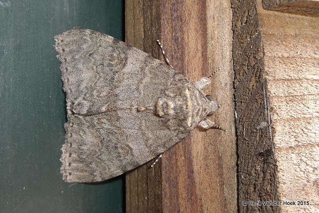 Uilensoort? tussen de 4  en 5 centimeter lang.
