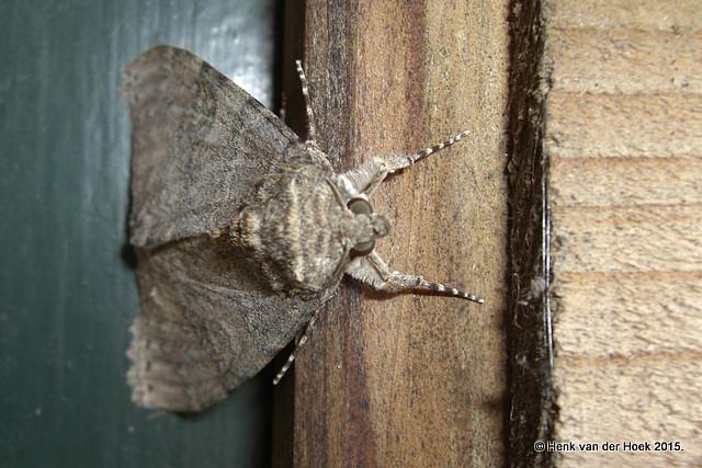 Uilen soort - tussen de 4 en 5 centimeter lang.