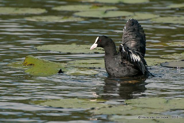 Meerkoet houd soortgenoot onder water.