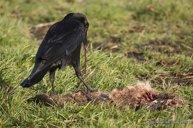 zwarte kraai op dode haas.