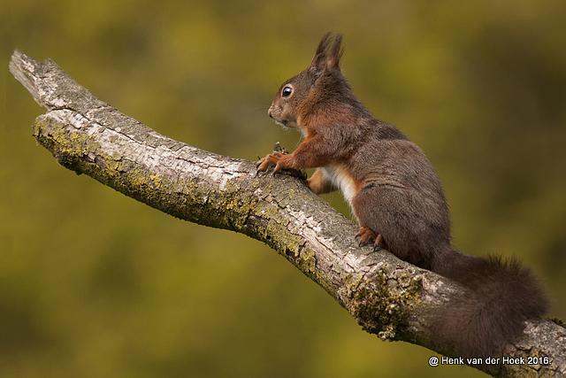 Eekhoorn.