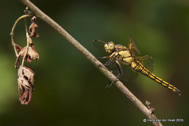 Heide libelle