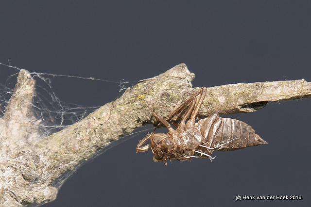 Larve van een libelle.