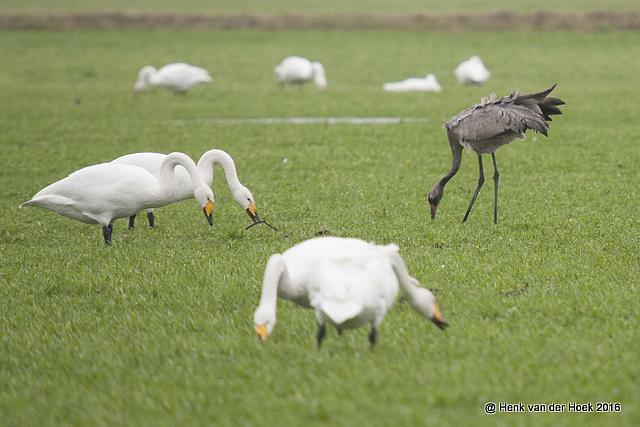 Jonge kraanvogel bij een groep wilde en kleine zwanen
