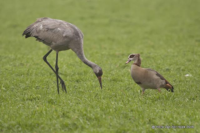 kraanvogel en nijlgans