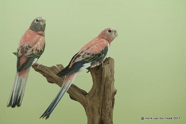 Roze Bourks.