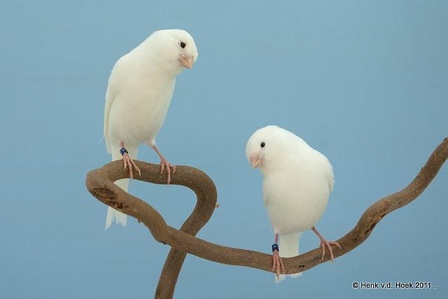 witte kanarie