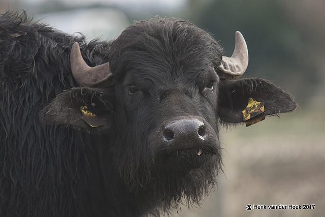 Buffel.