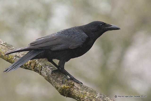 Zwarte Kraai.