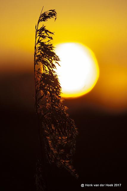 Rietstengel in ondergaand zonlicht.